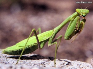 Natural Pest Control - Leave the Preying Mantis alone!